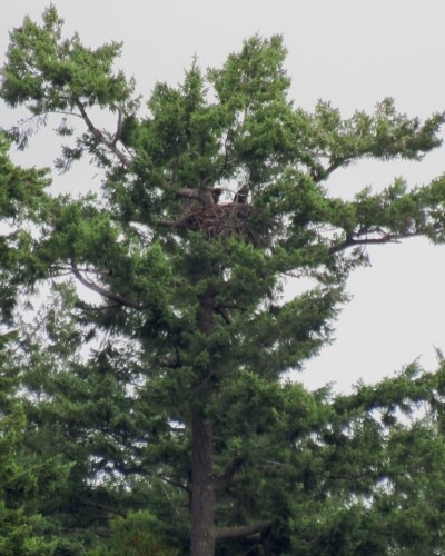 Langford Lake Eagles 3 July.JPG