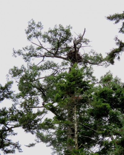 Cottonwood Lane Eagle Nest Tree July 3.JPG