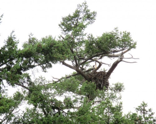 Cottonwood Lane Eagle Nest2 July 3.JPG