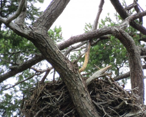 Cottonwood Lane Eagle Nest1 July 3.JPG