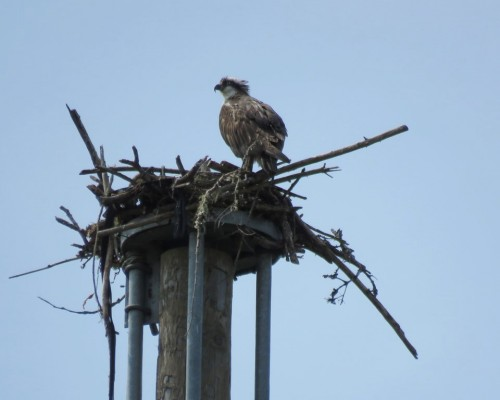 Royal Roads Osprey & Chick 4 July.JPG