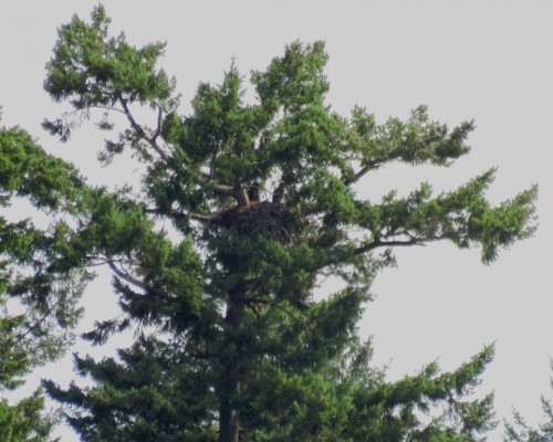 Langford Lake Eaglets.JPG
