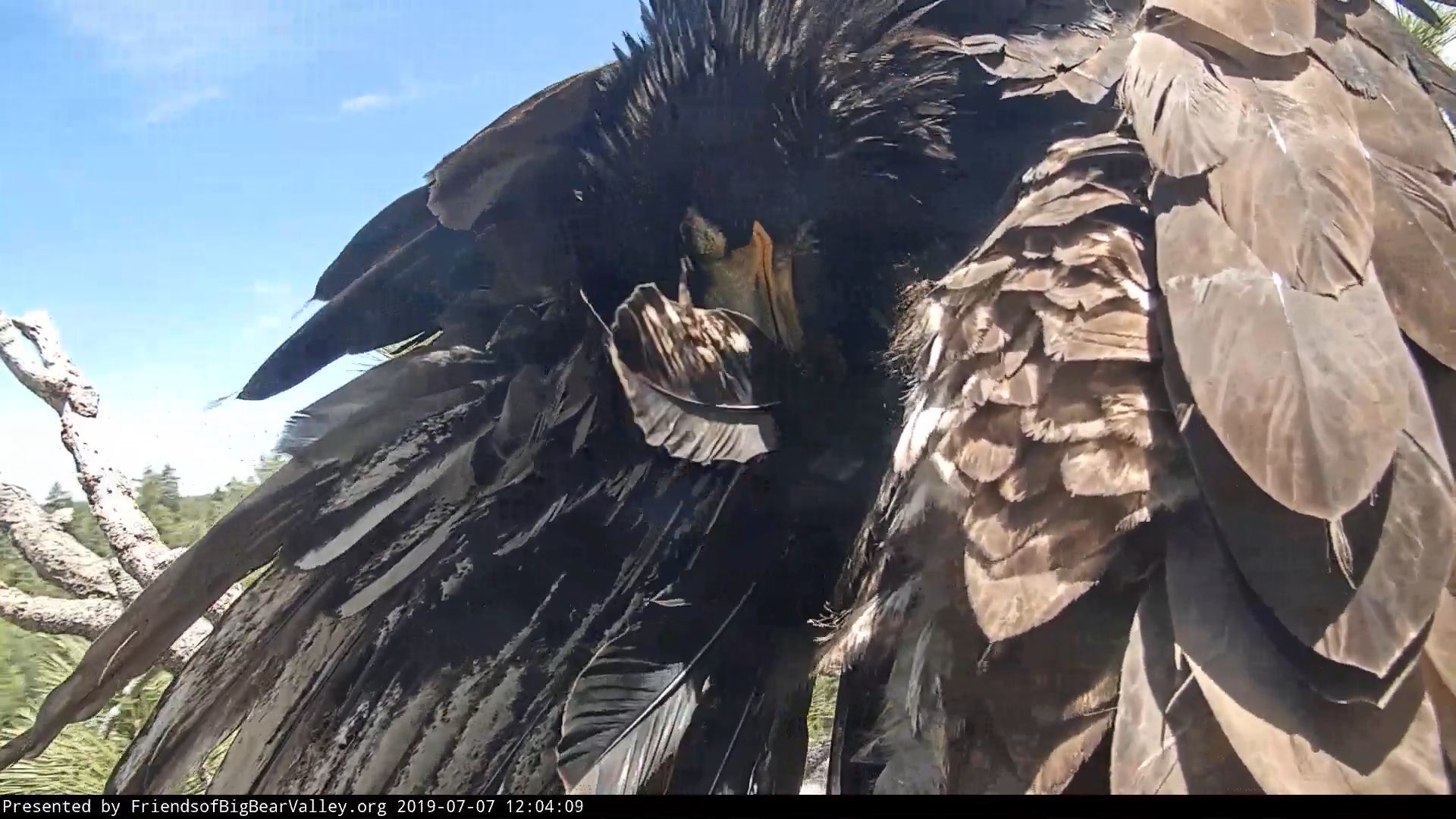 Big Bear Bald Eagle Nest Cam File