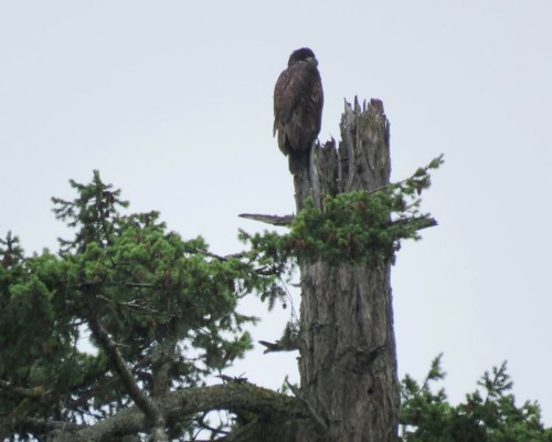 Eaglet at top of nest tree1.JPG