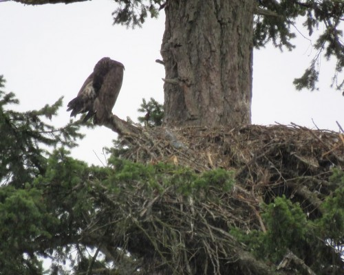 Eaglet beside nest.JPG