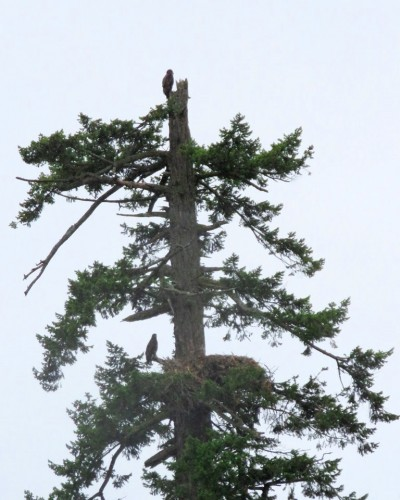 Both eaglets in nest tree.JPG