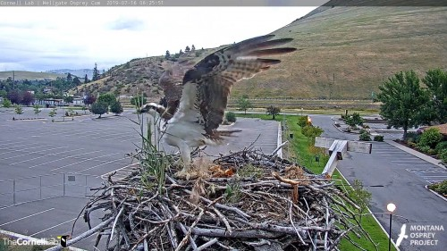 hellgate unknown osprey lands on nest 6 25 51 july 16 .jpg