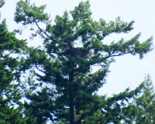Langford Lake Eaglets 15 July.JPG