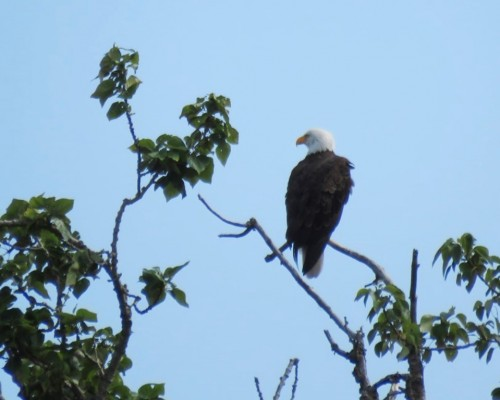 Langford Lake Eagle1 July 15.JPG