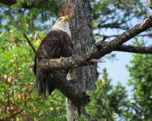 Goldstream Eagle1 July 15.JPG