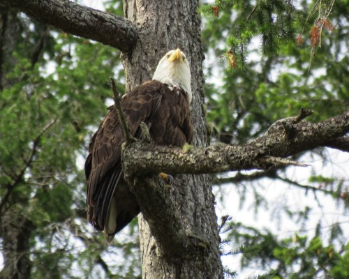 Goldstream Eagle2 July 15.JPG