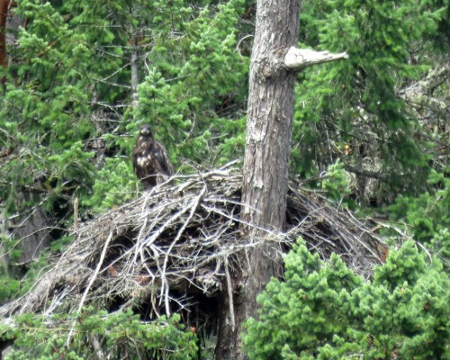Goldstream Eaglet1 July 15.JPG