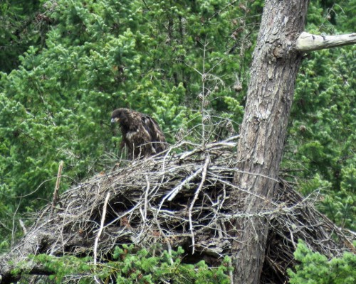 Goldstream Eaglet2 July 15.JPG