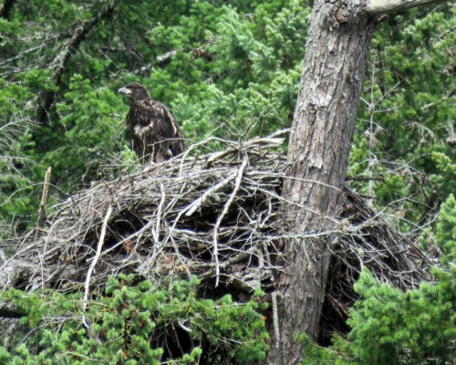 Goldstream Eaglet3 July 15.JPG