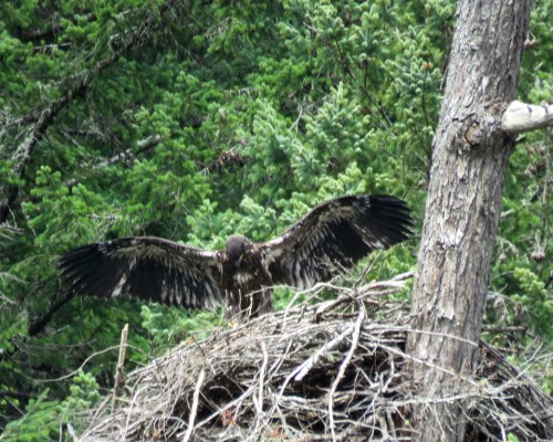 Goldstream Eaglet4 July 15.JPG