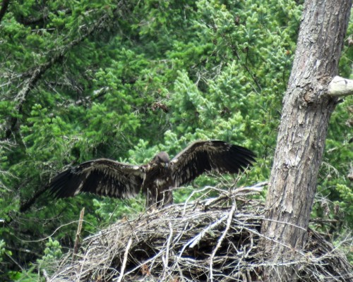 Goldstream Eaglet5 July 15.JPG
