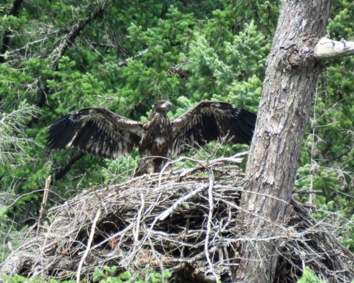 Goldstream Eaglet6 July 15.JPG