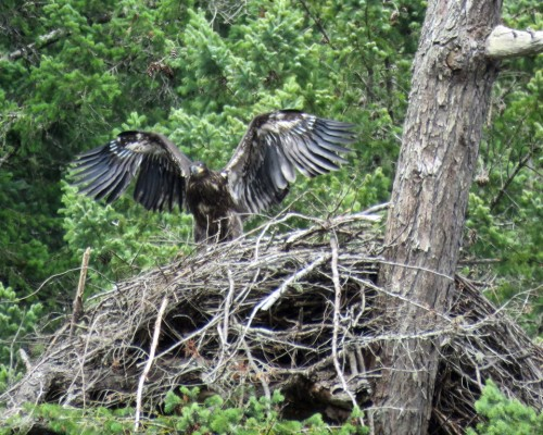 Goldstream Eaglet7 July 15.JPG