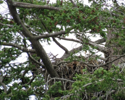 Farhill Rd. Eaglet1 July 15.JPG