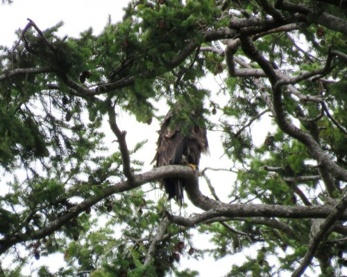 Farhill Rd. Eaglet2 July 15.JPG