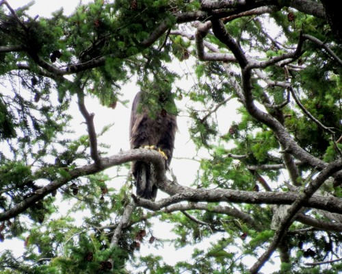 Farhill Rd. Eaglet3 July 15.JPG