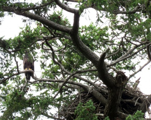 Farhill Rd. Eaglet4 July 15.JPG