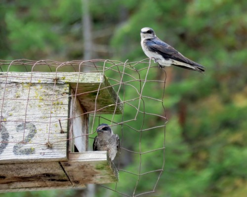 Goldstream Purple Martins1 July 15.JPG
