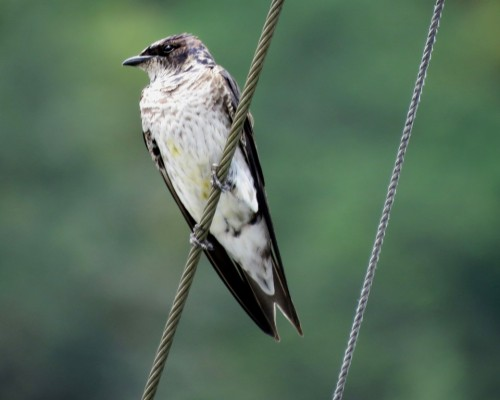 Goldstream Purple Martin1 July 15.JPG