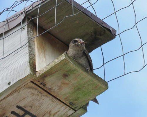 Goldstream Purple Martin2 July 15.JPG