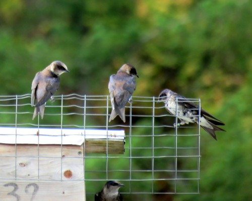 Goldstream Purple Martins4 July 15.JPG