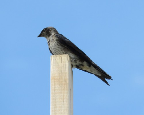 Goldstream Purple Martin4 July 15.JPG