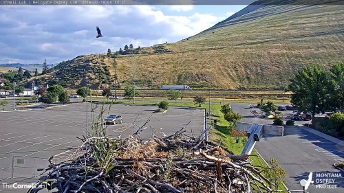 HELLGATE OSPREY FLYING PAST NEST 8 44 21 JULY 19 .jpg