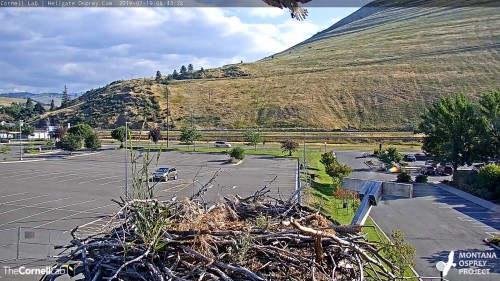 HELLGATE OSPREY ABOVE THE NEST 8 44 28 JULY 19 .jpg
