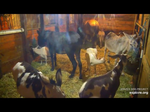SDP 7 24 19 12 05 AM THE GOATS COMPARED TO DONKEYS.jpg