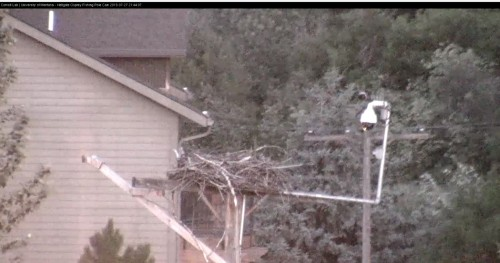 hellgate 9 44 07 cam op checked nest owl pole cam july 27 .jpg
