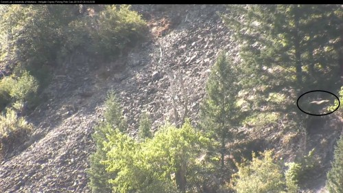 hellgate osprey heading back to dead tree 10 20 59 july 28 owl pole cam .jpg
