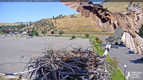 hellgate unknown osprey to the nest 10 28 05 wings tail spread july 28 .jpg