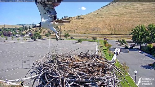 hellgate unknown osprey leaving the nest 10 28 24 july 28 .jpg