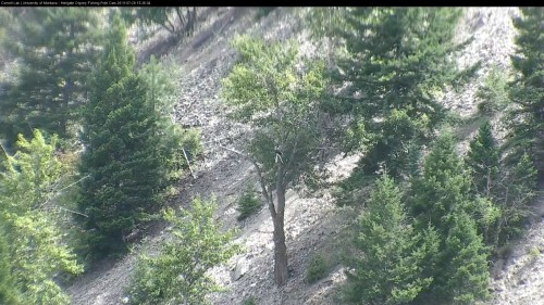 hellgate osprey still there 3 36 july 28 .jpg