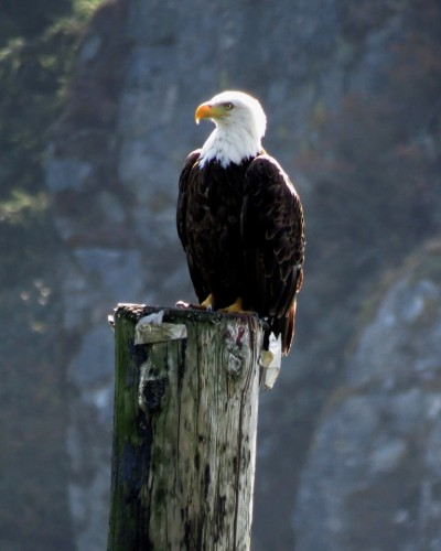Goldstream Eagle  5 Aug.JPG