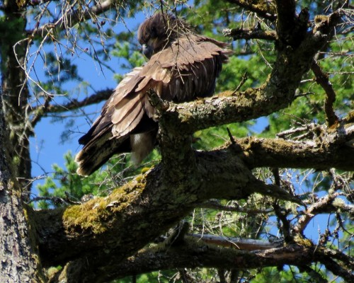 Goldstream Eaglet1 Aug. 5.JPG