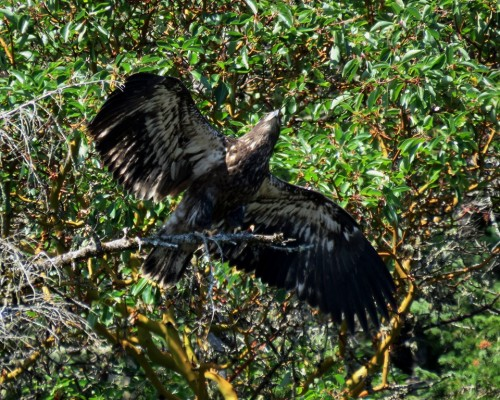 Goldstream Eaglet3 Aug. 5.JPG