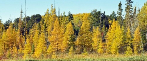 20191008_Tamaracks_glowing.jpg