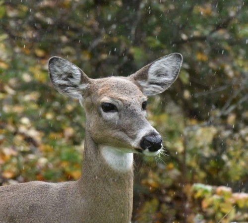 20191011_Deer_in_rain_sleet.jpg
