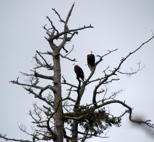 Bald Eagle adults at Jed-Mar Farm April 3-2018.jpg
