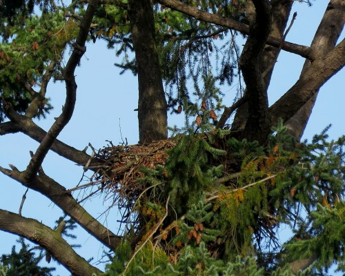 Swan Lake Eagle Nest 22 Oct. 2019.JPG