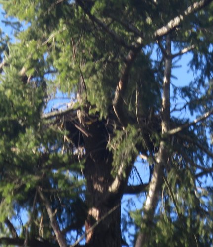 Marmot eagle nest tree aa - 1.jpg