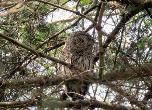 Barred Owl Beacon Hill March 30-2018.jpg