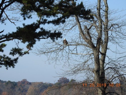 DSCN5294 Campground Eagle Nov 20 2019.jpg