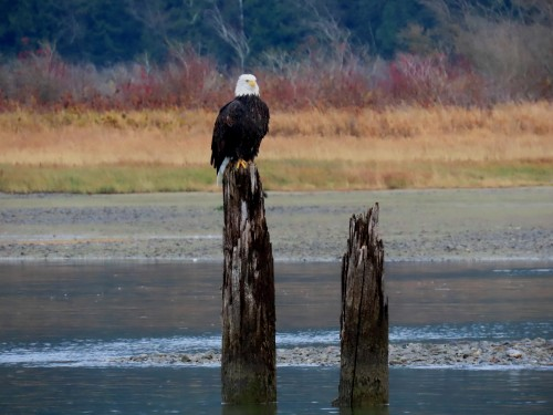 fraser valley bald eagle festival 2019-11.jpg